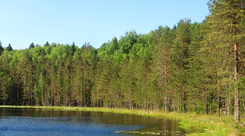 На Луганщині висихає сосновий ліс